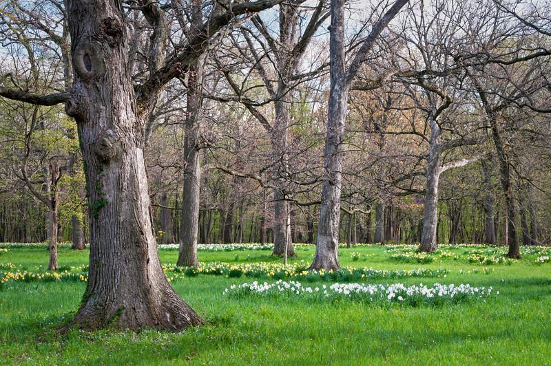 Daffodil Oaks