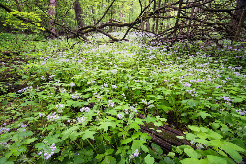 ARB 214H<br /> <br /> Wild geraniums and fresh spring plants mix together to form a botanical carpet in the East Woods of The Morton Arboretum in Lisle, Illinois.