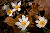 ARB031H                        Bloodroot are among the first of the spring wildflowers to make their appearance at the Morton Arboretum in Lisle, IL.