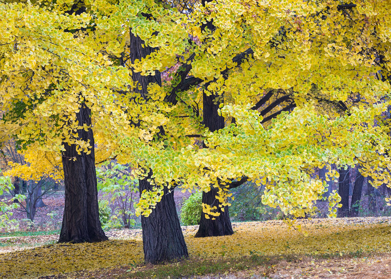 ARB 204H<br /> <br /> The leaves of the amazing ginkgo tree turn a dazzling golden yellow in late autumn.  The Morton Arboretum, Lisle, Illinois.