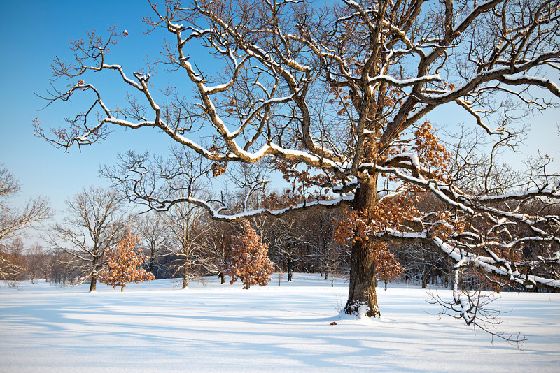 ARB135H                    Winter light on the snow-covered limbs of a mature oak tree, The Morton Arboretum, Lisle, Illinois.