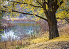 ARB 205H<br /> <br /> A beautiful ginkgo tree in peak autumn color graces the shoreline of a small wetland area at The Morton Arboretum in Lisle, Illinois.