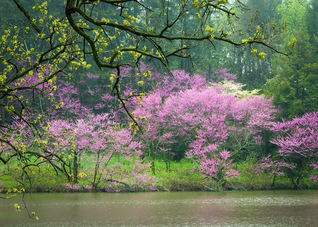 ARB 187H<br /> <br /> Easter redbud trees in peak spring bloom are framed by the overhanging branches of a majestic oak on the shoreline of Lake Marmo.  The Morton Arboretum, Lisle, Illinois.