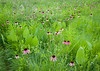 Dance of the Coneflowers