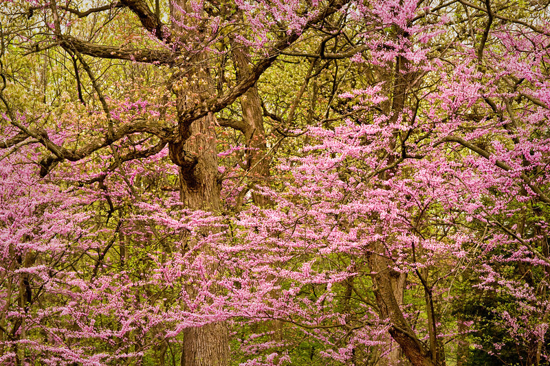 ARB078H                      Redbud trees add their color to the spring woods at the Morton Arboretum in Lisle, IL.