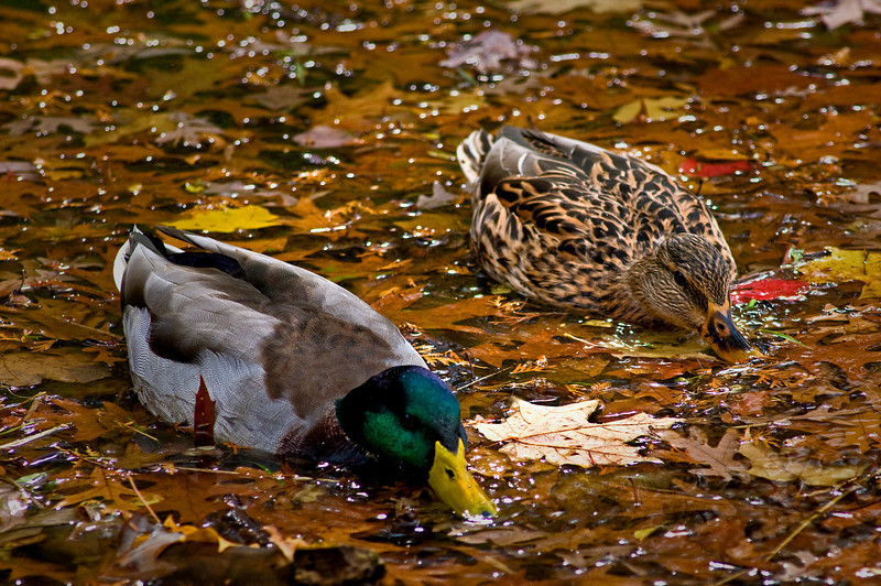 Mallards on Sterling Pond