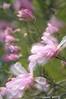 ARB032V                        Magnolia blossoms blow in a spring breeze, Morton Arboretum, Lisle, IL.