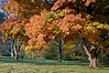 Autumn Sugar Maple