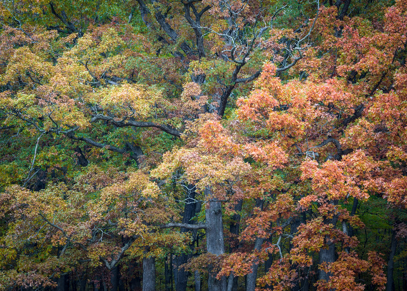 Cinnamon Oaks