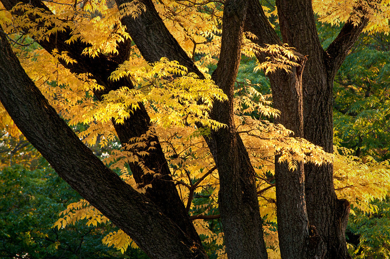 ARB094H                         Early autumn color at the Morton Arboretum in Lisle, IL.
