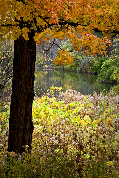 ARB011V                        View of Lake Marmo under the branches of a maple tree at the Morton Arboretum in Lisle, IL.