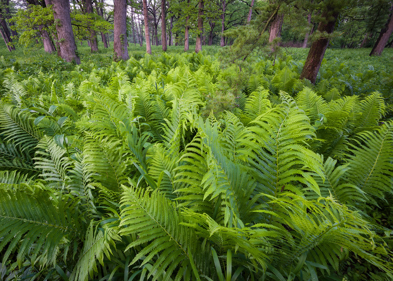 ARB 217H<br /> <br /> Spring ferns create a carpet of green at The Morton Arboretum, Lisle, Illinois.