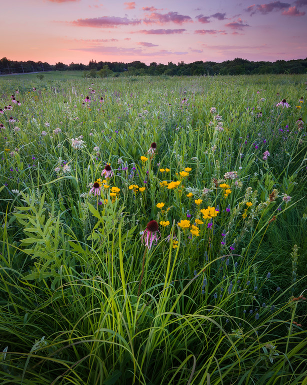 ARB 093V<br /> <br /> Sunset light on a prairie filled with blooming native wildflowers.  Schulenberg Prairie, The Morton Arboretum, Lisle, Illinois.