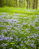 ARB 85V<br /> <br /> Wild phlox puts on a springtime display in a woodland meadow at The Morton Arboretum, Lisle, Illinois.