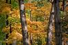 ARB012H                      The autumn woods at the Morton Arboretum in Lisle, IL.