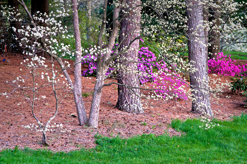 ARB123H                      Dogwood trees and azalea bushes add their blooms to the spring landscape at The Morton Arboretum in Lisle, Illinois.