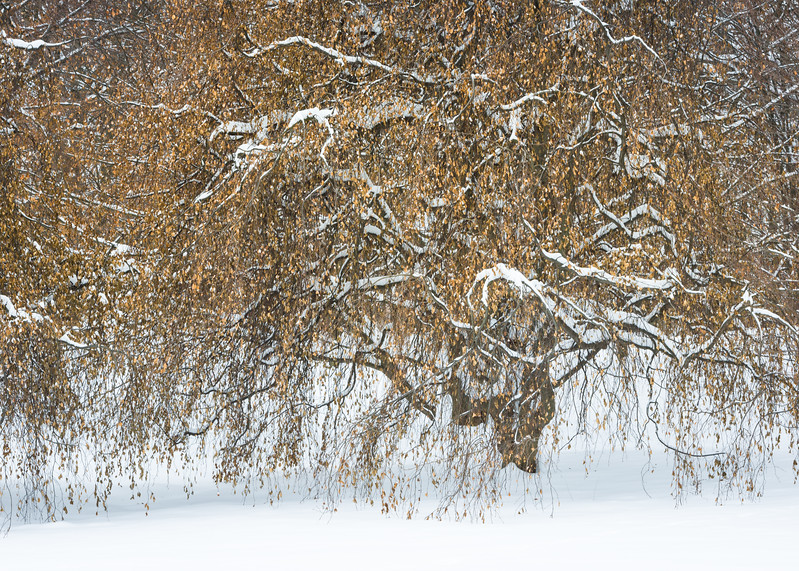 ARB 236H<br /> <br /> Heave snow clings to the branches of a beech tree at The Morton Arboretum, Lisle, Illinois.