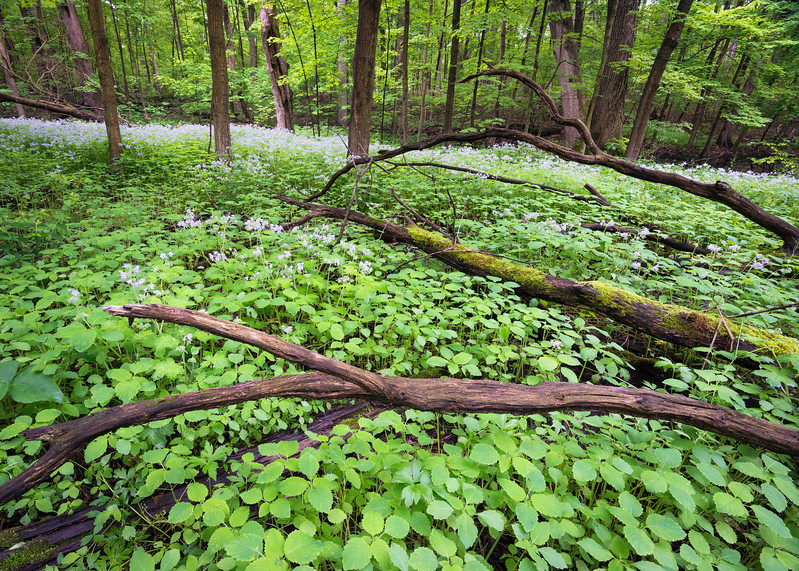 ARB 213H<br /> <br /> Wild geraniums and fresh spring plants mix together to form a botanical carpet in the East Woods of The Morton Arboretum in Lisle, Illinois.