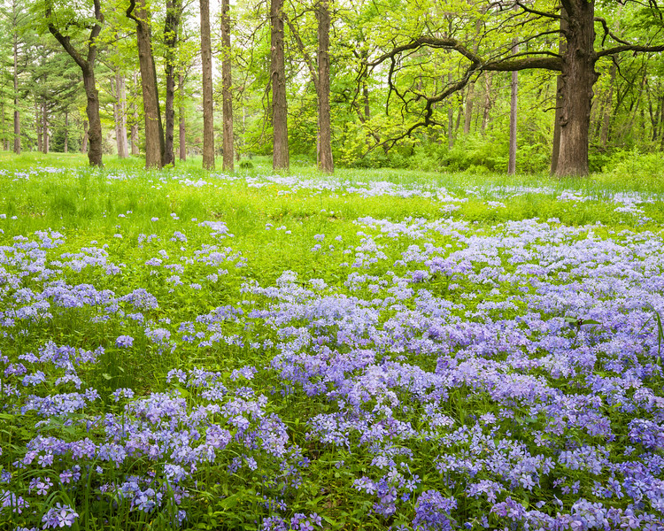 ARB 152H<br /> <br /> Wild phlox puts on a springtime display in a woodland meadow at The Morton Arboretum, Lisle, Illinois.