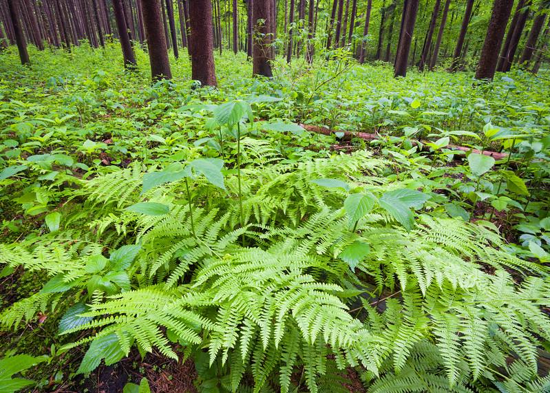 Spring in the Spruce Plot
