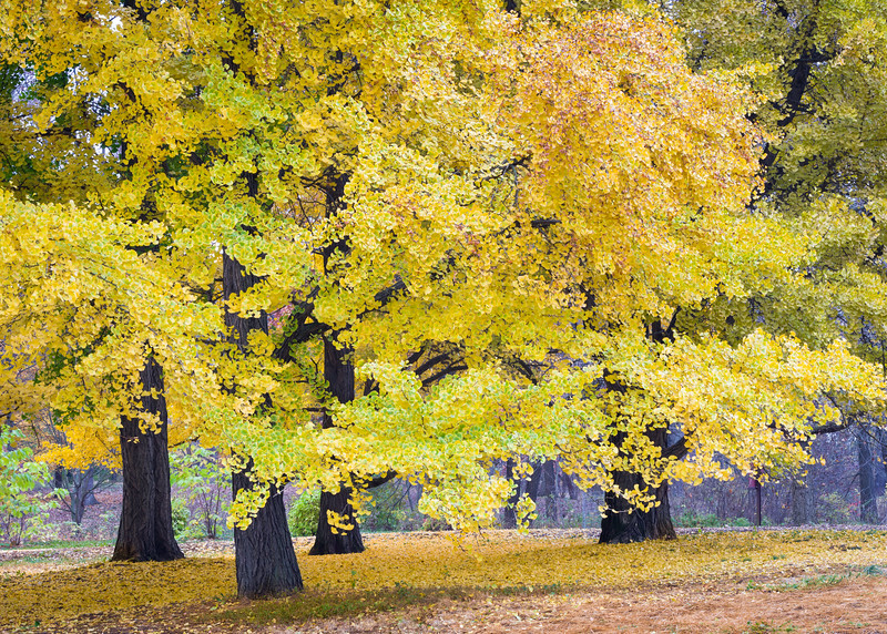 ARB 203H<br /> <br /> The leaves of the amazing ginkgo tree turn a dazzling golden yellow in late autumn.  The Morton Arboretum, Lisle, Illinois.