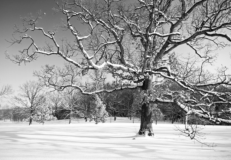 ARB135H B&H                 Winter light on the snow-covered limbs of a mature oak tree, The Morton Arboretum, Lisle, Illinois.
