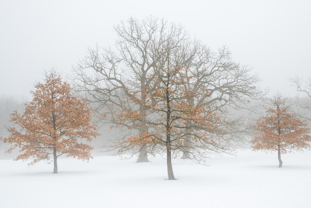ARB 242H<br /> <br /> Oak trees in a winter fog.  The Morton Arboretum, Lisle, Illinois.