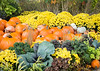 ARB 230H<br /> <br /> Pumpkins and gourds mix with mums in a colorful autumn display at The Morton Arboretum in Lisle, Illinois.