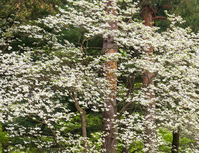 Dogwood Display