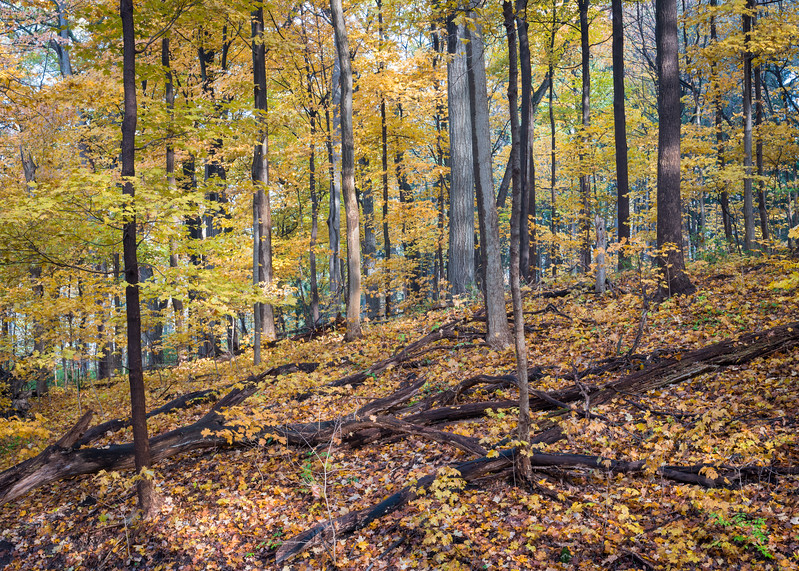 ARB 222H<br /> <br /> Morning sunlight illuminates the fall colors on a wooded hillside at The Morton Arboretum in Lisle, Illinois.
