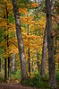 ARB015V                       The autumn woods at the Morton Arboretum in Lisle, IL.