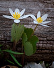 ARB026V                       One of the first flowers of spring, bloodroot blooms beside a fallen log at the Morton Arboretum in Lisle, IL.
