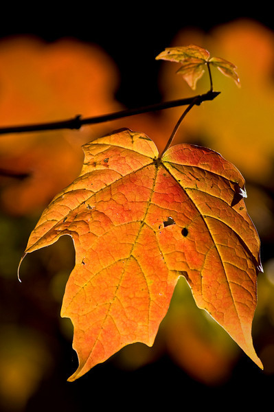 Maple Leaf Portrait