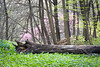 ARB 211H<br /> <br /> A forest giant finds its final resting place among a bed of virginial bluebells at The Morton Arboretum in Lisle, Illinois.