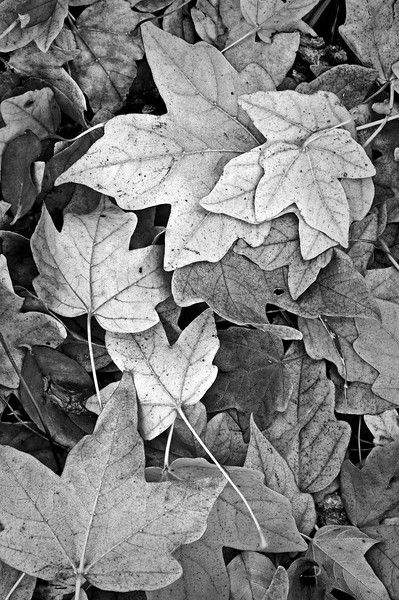 ARB020V B&W                    Fallen leaves form patterns on the forest floor at the Morton Arboretum in Lisle, Illinois.