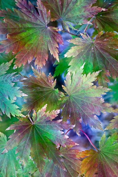 Korean Maple Leaves II