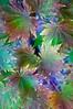 ARB018V                      Korean Maple leaves take on the colors of autumn at the Morton Aroboretum in Lisle, Illinois.