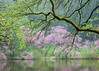 ARB 188H<br /> <br /> Easter redbud trees in peak spring bloom are framed by the overhanging branches of a majestic oak on the shoreline of Lake Marmo.  The Morton Arboretum, Lisle, Illinois.