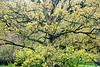 Springtime Oak