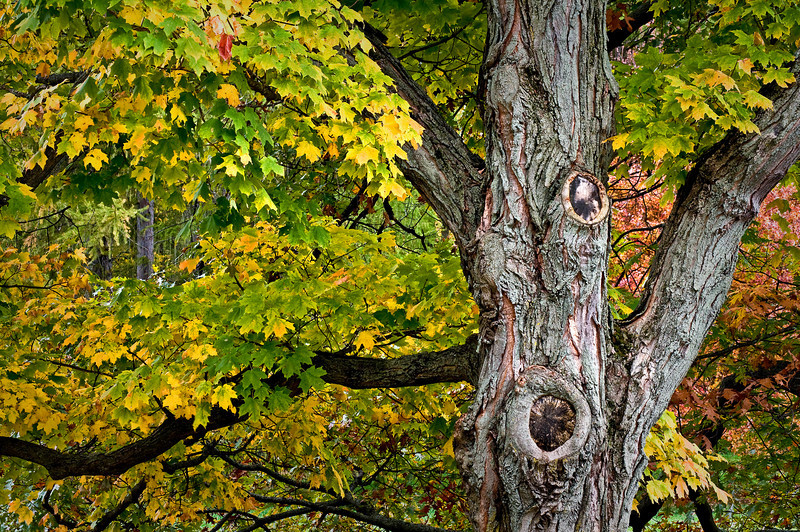 Mature Autumn Maple