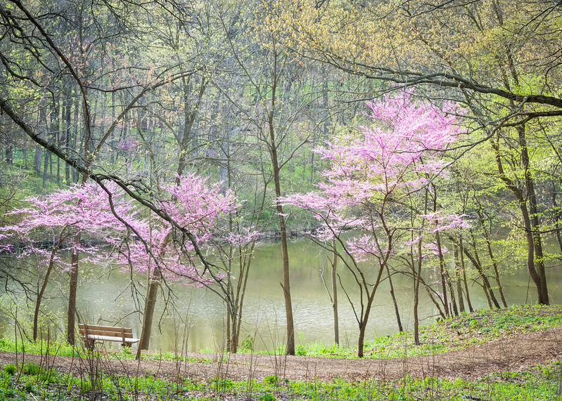 ARB 207H<br /> <br /> Easter redbud trees grace the shore of Sterling Pond on a beautiful spring morning at The Morton Arboretum in Lisle, Illinois.