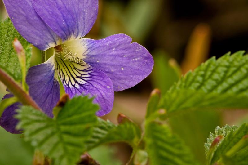 Spring Violet
