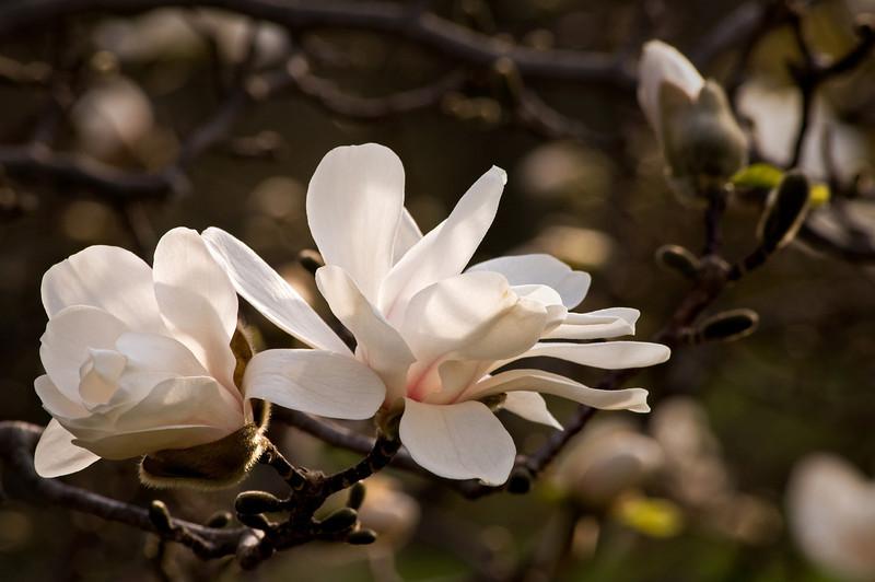 ARB050H                        Afternoon light on a blooming magnolia tree, Morton Arboretum, Lisle, IL.