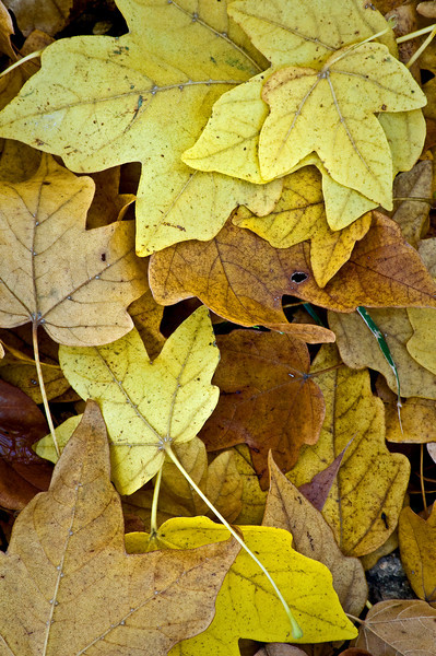 ARB021V                            Fallen leaves form patterns on the forest floor at the Morton Arboretum in Lisle, Illinois.