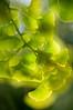 ARB014V                        Ginkgo tree leaf detail.