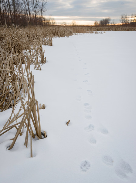 BW 002<br /> <br /> Coyote tracks skirt the edge of a marsh at Big Woods Forest Preserve, DuPage County, Illinois.