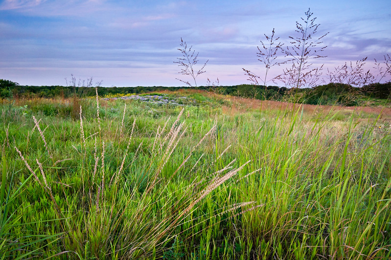 BFP 026<br /> <br /> Prairie grasses on Mt. Hoy at Blackwell Forest Preserve, DuPage County, Illinois.