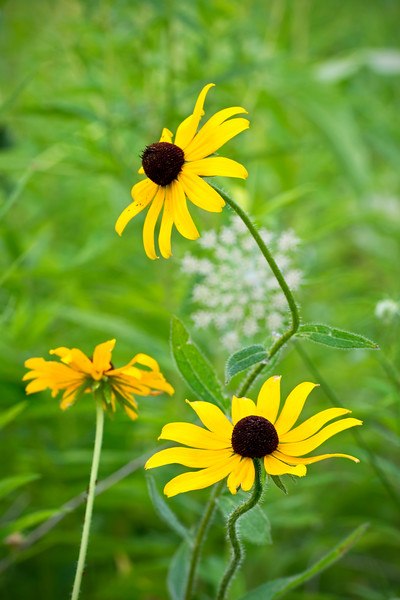 BFP 004<br /> <br /> Black-eyed susan wildflowers at Blackwell Forest Preserve, DuPage County, Illinois.