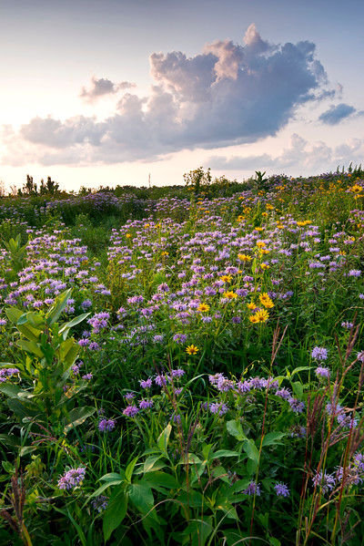 BFP 010<br /> <br /> Native prairie wildflowers at sunset.  Blackwell Forest Preserve, DuPage County, Illinois.