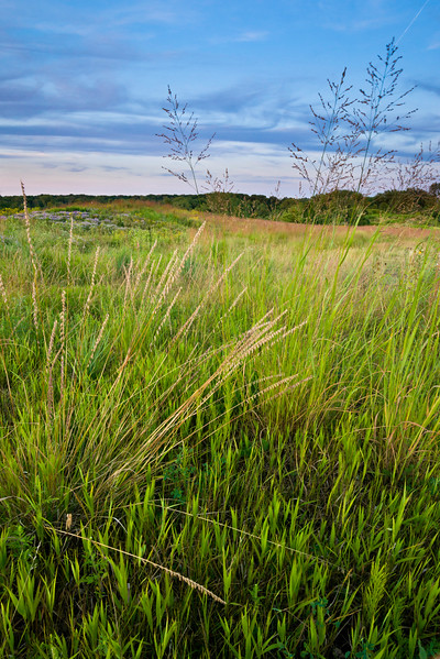 BFP 025<br /> <br /> Prairie grasses on Mt. Hoy at Blackwell Forest Preserve, DuPage County, Illinois.